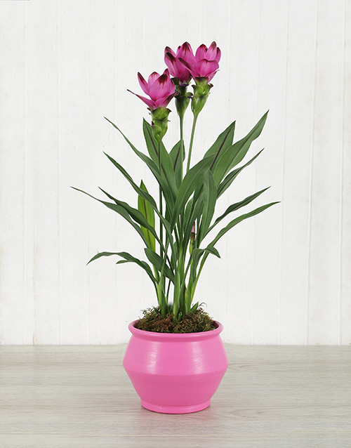 lilies: Purple Curcuma Plant in Pink Pottery!
