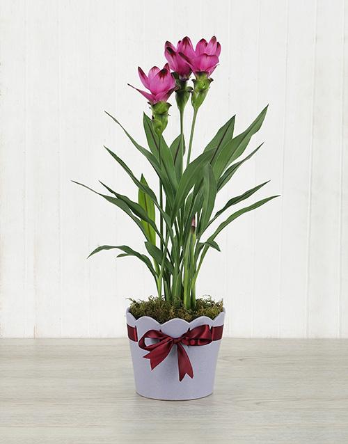 lilies: Purple Curcuma Plant in Purple Ribbon Planter!
