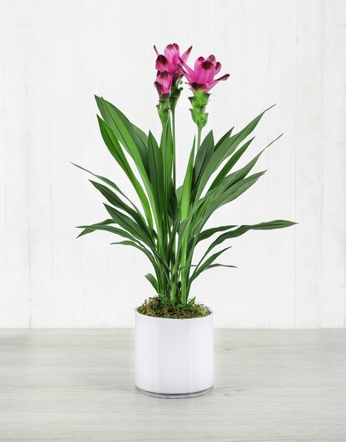 lilies: Purple Curcuma Plant in White Cylinder Vase!