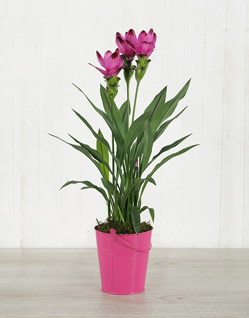 lilies: Purple Curcuma Plant in Bucket Tin!