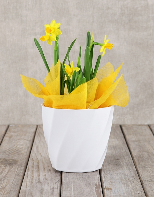 pottery: Daffodil Plant in White Pot!