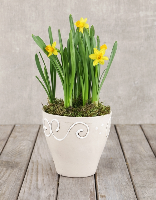 plants: Daffodil Plant in Ceramic Pot!