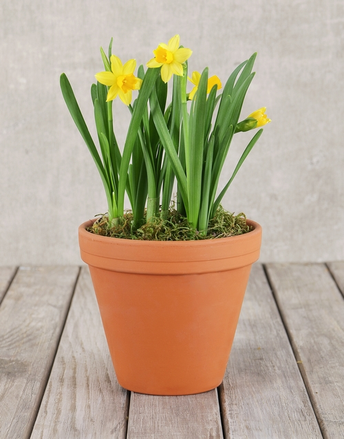 good-luck: Daffodil Plant in Pot!