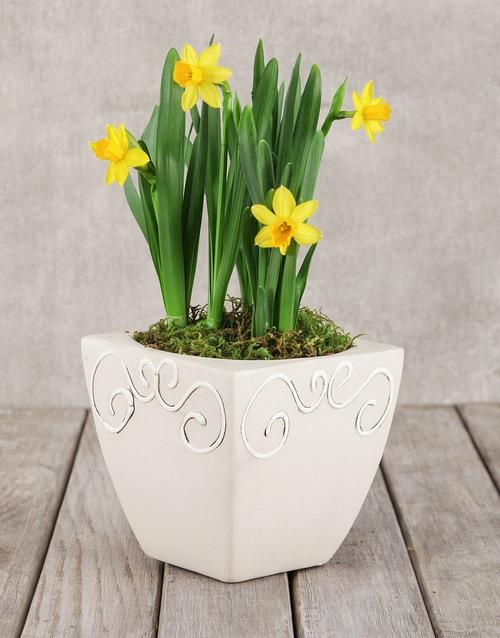 congratulations: Daffodil Plant in Square Pot!