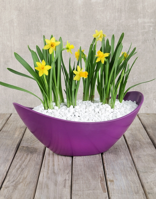 get-well: Daffodil Plant in Purple Boat Vase!