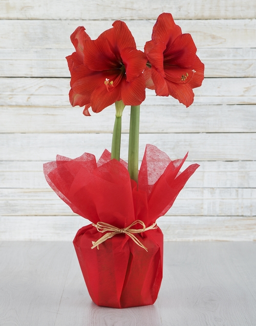 lily: Red Amaryllis Plant!