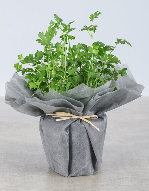 green: Parsley Herbs in Wrapping!