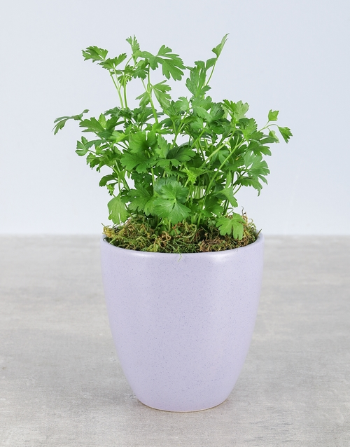 plants: Parsley Herbs in Glazed Pot!
