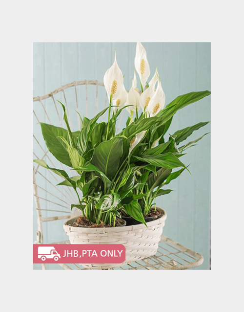lily: 2 Spathiphyllum Plants in a Basket!