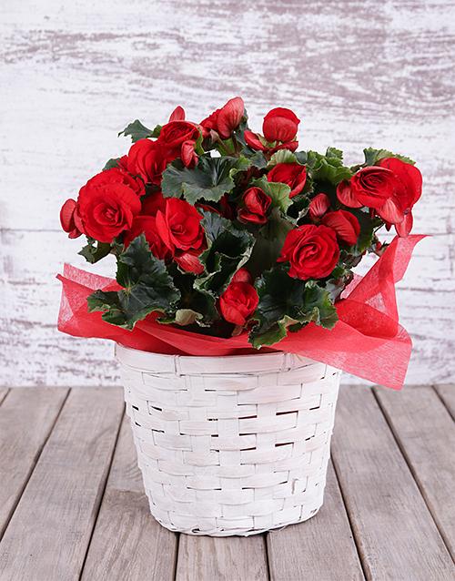 basket: Red Begonia Basket!
