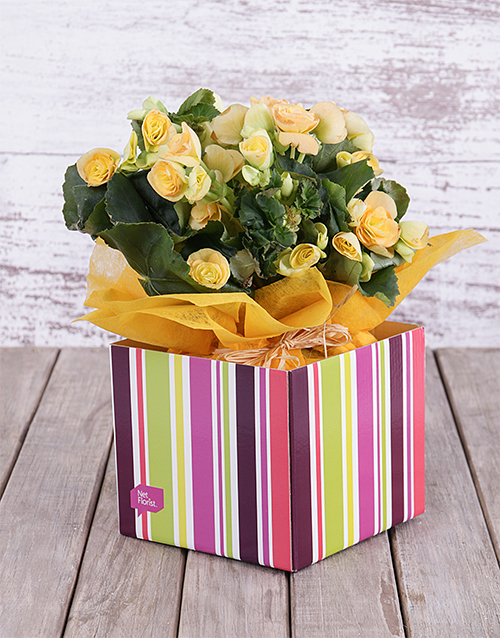 birthday: Yellow Begonia Box!