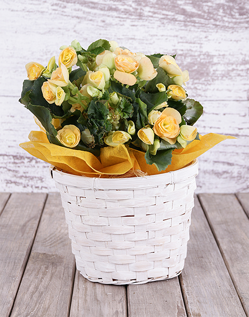 colour: Yellow Begonia Basket!