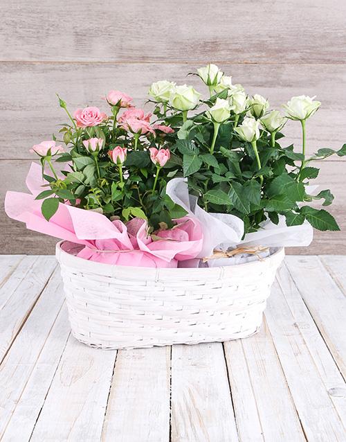 colour: Double Rose Bush Basket!