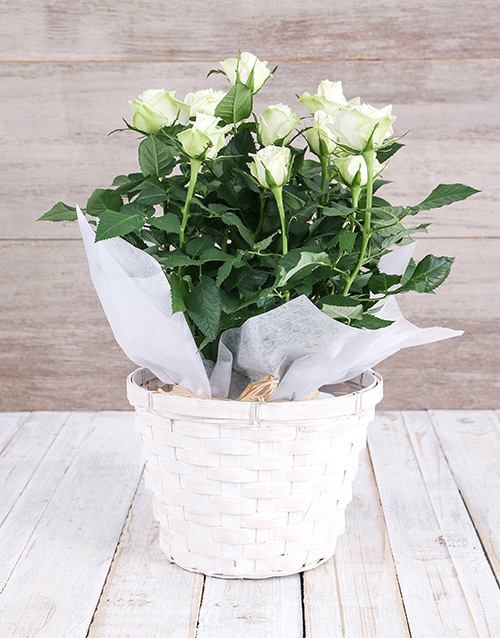 baby: White Rose Bush in Planter!