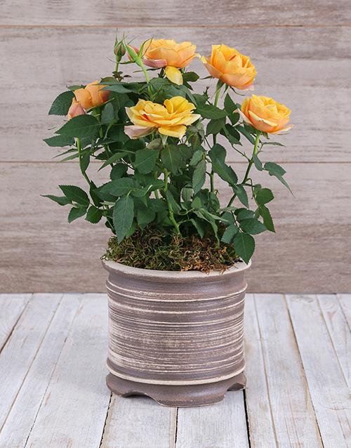 birthday: Yellow Rose Bush in Ceramic Pot!