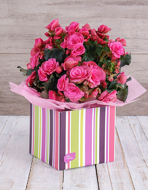 birthday: Pink Begonia Box!