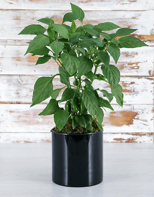 herbs: Green Chilli in Black Vase!