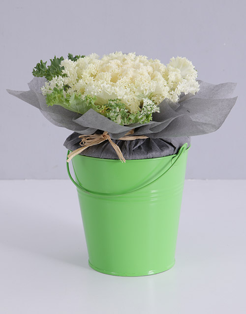 prices: White Kale Plant in Bucket!