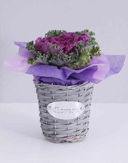 basket: Purple Kale Plant in Flower Basket!