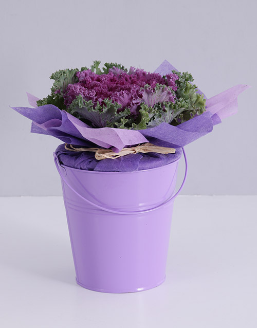 prices: Purple Kale Plant in Bucket!