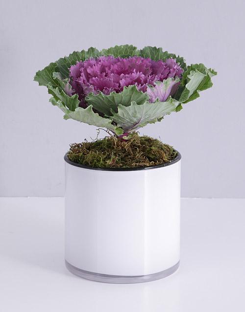 coloured-vases: Kale Plant in White Cylinder Vase!
