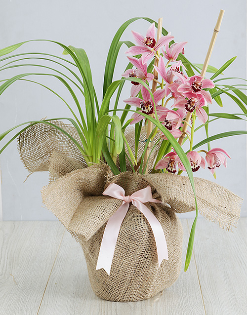 birthday: Pink Cymbidium Orchid in Hessian!