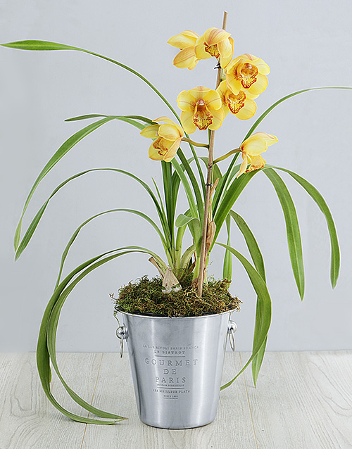 colour: Cymbidium Orchid in Wine Bucket!