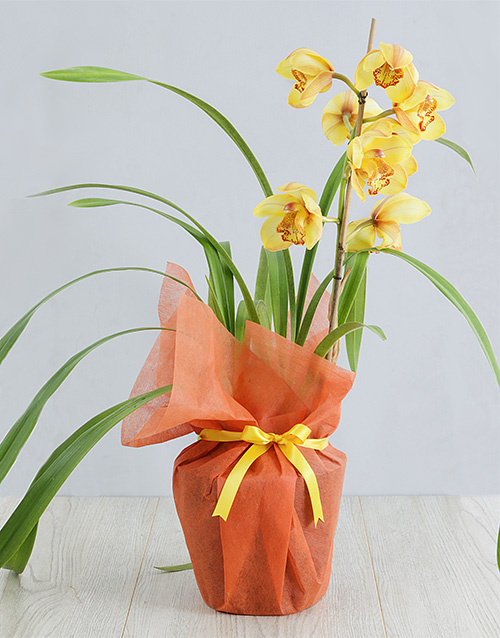 colour: Yellow Cymbidium Orchid in Wrapping!