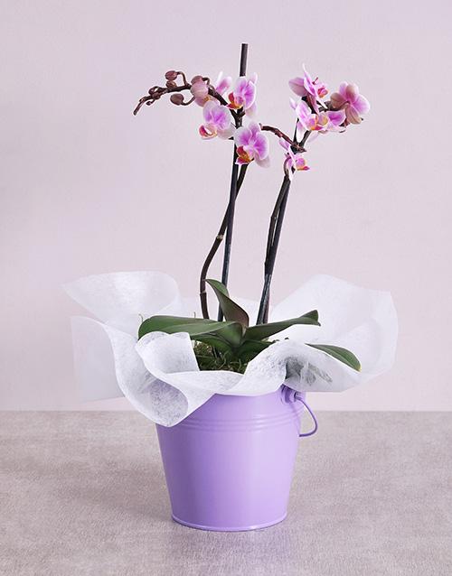 orchids: Midi Phalaenopsis Orchid in Purple Bucket!