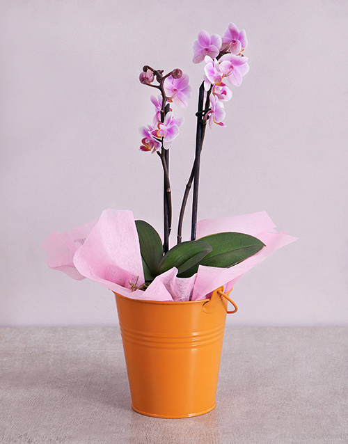 colour: Midi Phalaenopsis Orchid in Orange Bucket!
