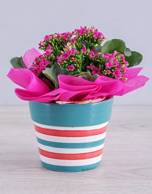 pottery: Cerise Kalanchoe Plant in Striped Ceramic Pot!