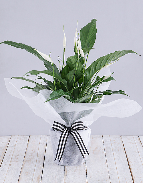 prices: Spathiphyllum in White Tissue Paper!
