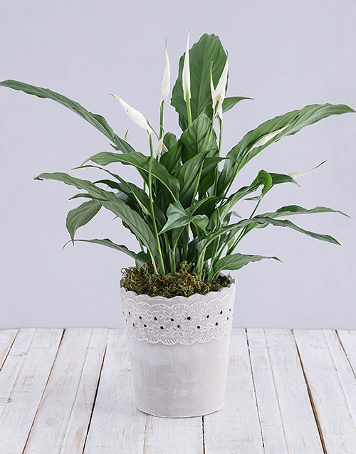 lilies: Spathiphyllum in Cement Pot!