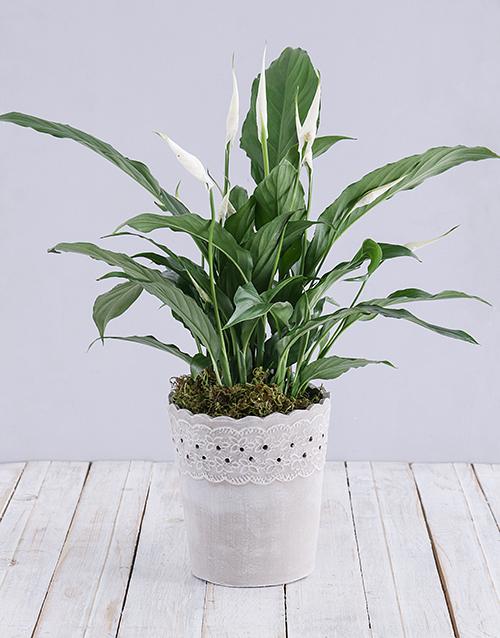 colour: Spathiphyllum in Cement Pot!