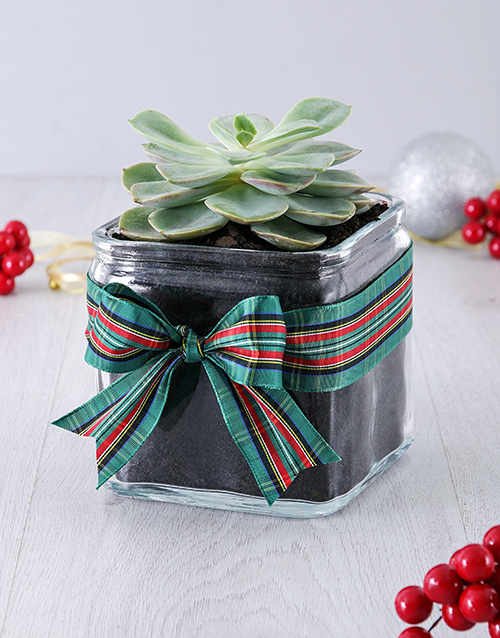 christmas: Christmas Succulent in Square Vase!