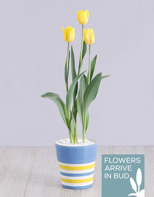 tulips: Yellow Tulip Plant in Striped Pot!