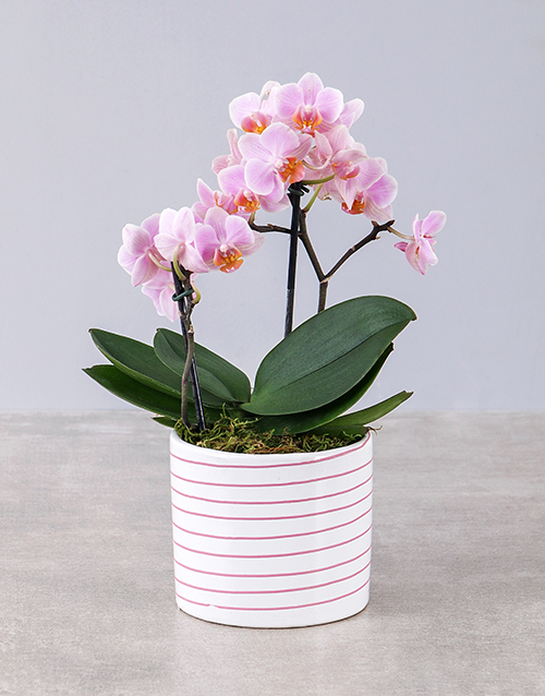 teachers-day: Midi Pink Orchid in Pink and White Striped Vase!