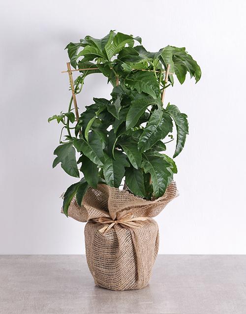 whats-new: Granadilla Fruit Tree Plant in Hessian!