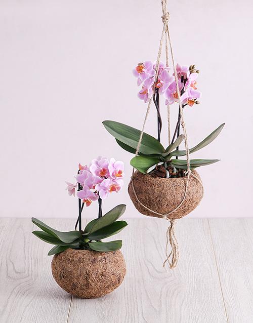 basket: Pink Midi Orchid Kokedama!