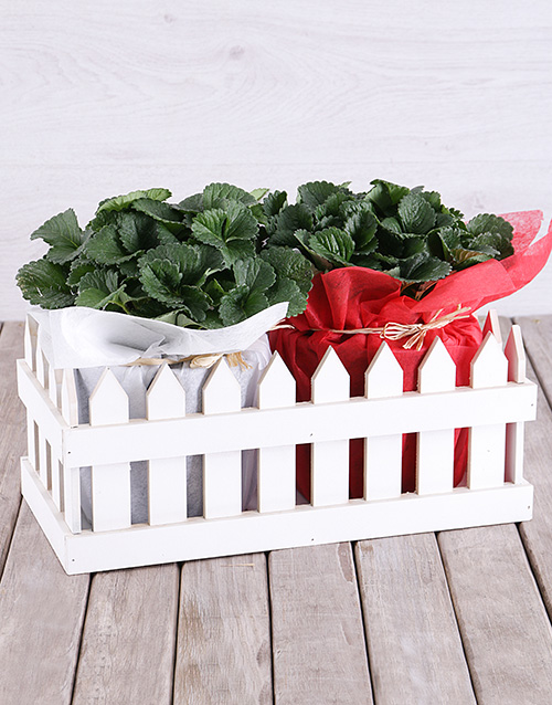love-and-romance: Strawberry Plants in Picket Fence!