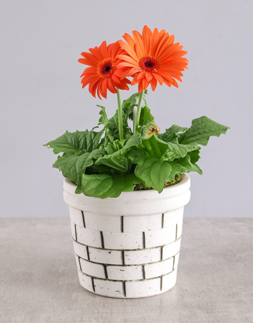 colour: Mini Gerbera Plant in Brick Pot!