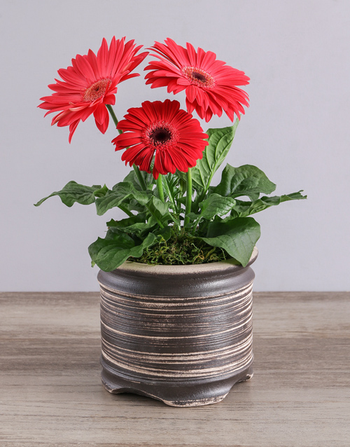 gerbera-daisies: Mini Gerbera Plant in Ceramic Pot!