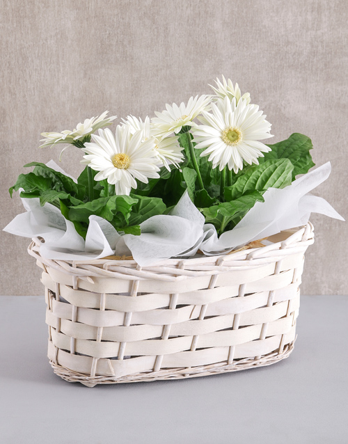 basket: Double Mini Gerbera Plant Basket!