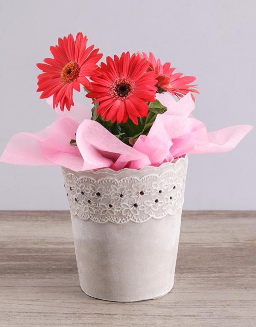 colour: Mini Gerbera Plant in Lace Pot!