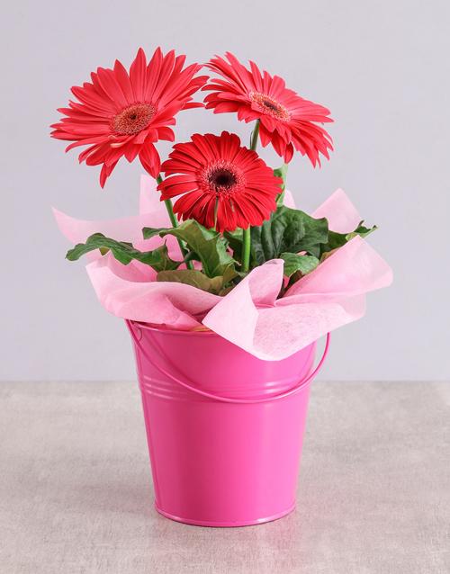 baby: Pink Mini Gerbera Plant Bucket!