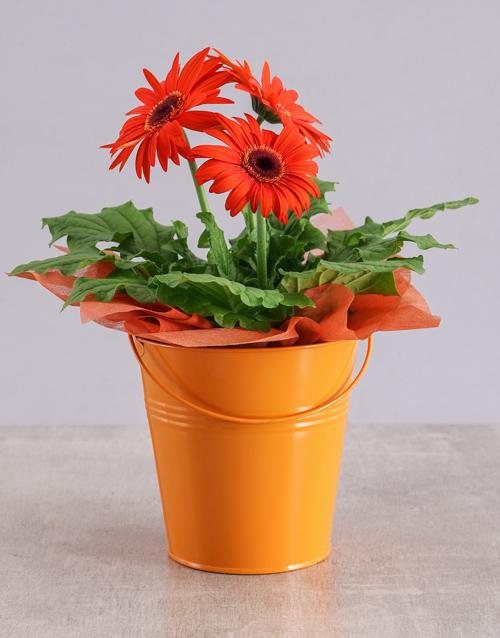 colour: Orange Mini Gerbera Plant Bucket!
