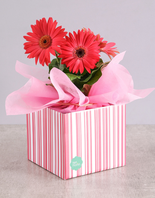 gerbera-daisies: Pink Mini Gerbera Plant Box!