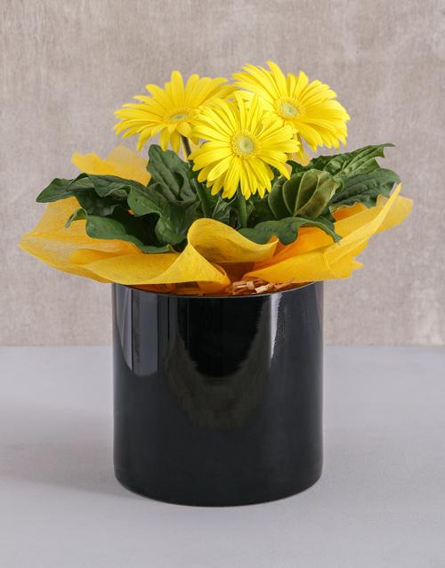 colour: Mini Gerbera Plant in Black Solid Vase!