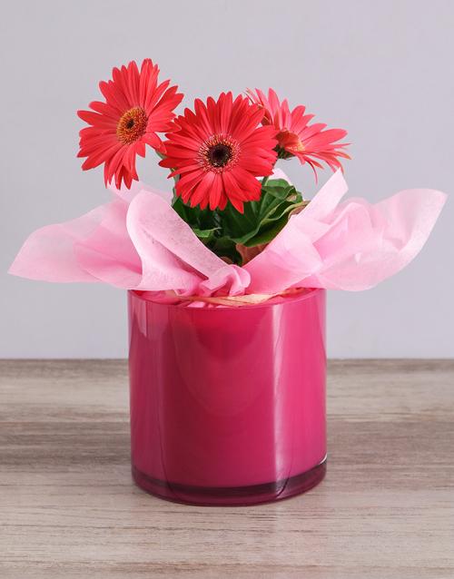 baby: Mini Gerbera Plant in Pink Solid Vase!