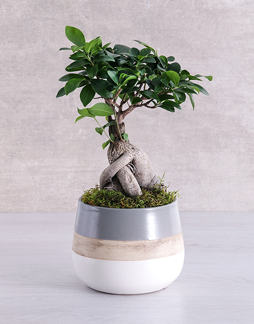 trees: Ficus Bonsai Tree in Striped Pot!